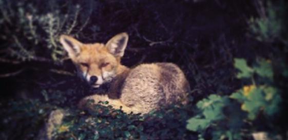 Castle Fox Featured Image